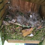 tufted titmouse nesting 4