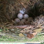 tufted titmouse eggs 1