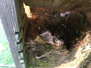 tufted titmouse nestlings 2
