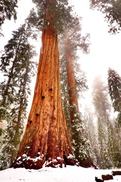 sequoia_snow