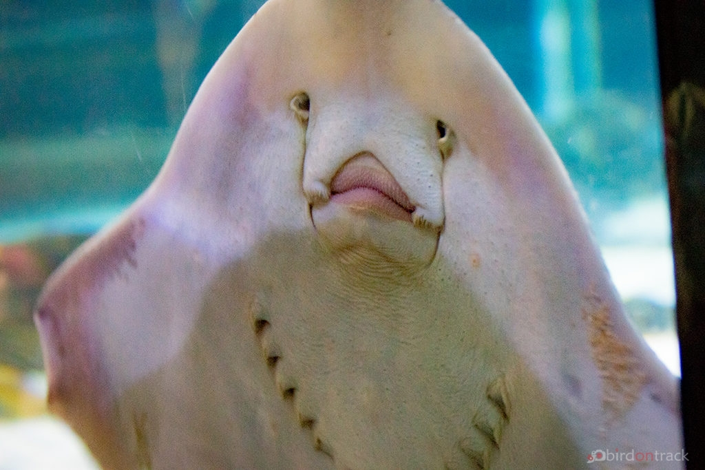 Face of a ray in the Sea Life Constance
