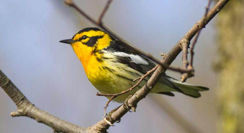 Warblers at Point Pelee