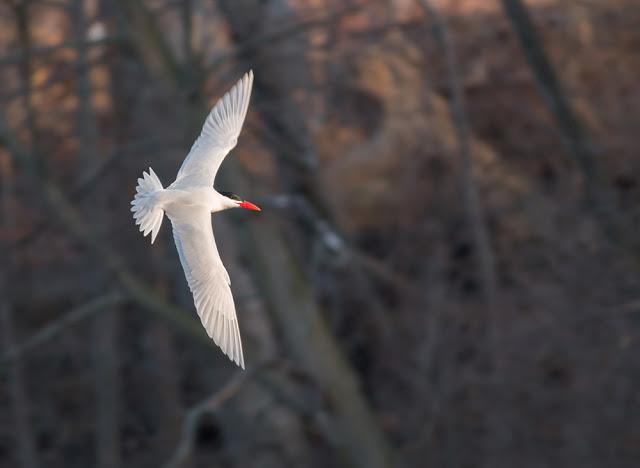 Caspian Tern in Niagara region