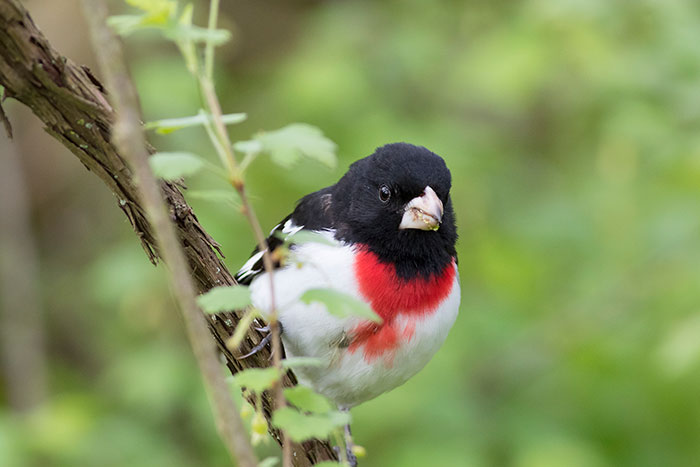 Rose-breasted Grosbeak at Point Pelee