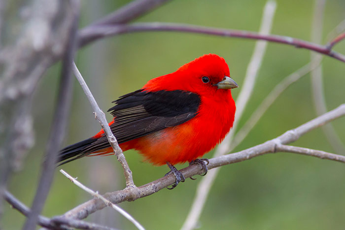 Scarlet Tanager during spring migration