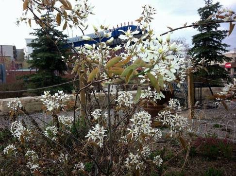 Downy Serviceberry flowering in our native habitat garden by the café patio.