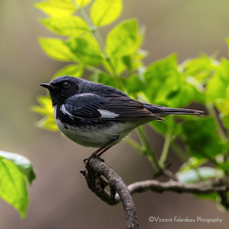 Black-throated Blue Warbler_1_1