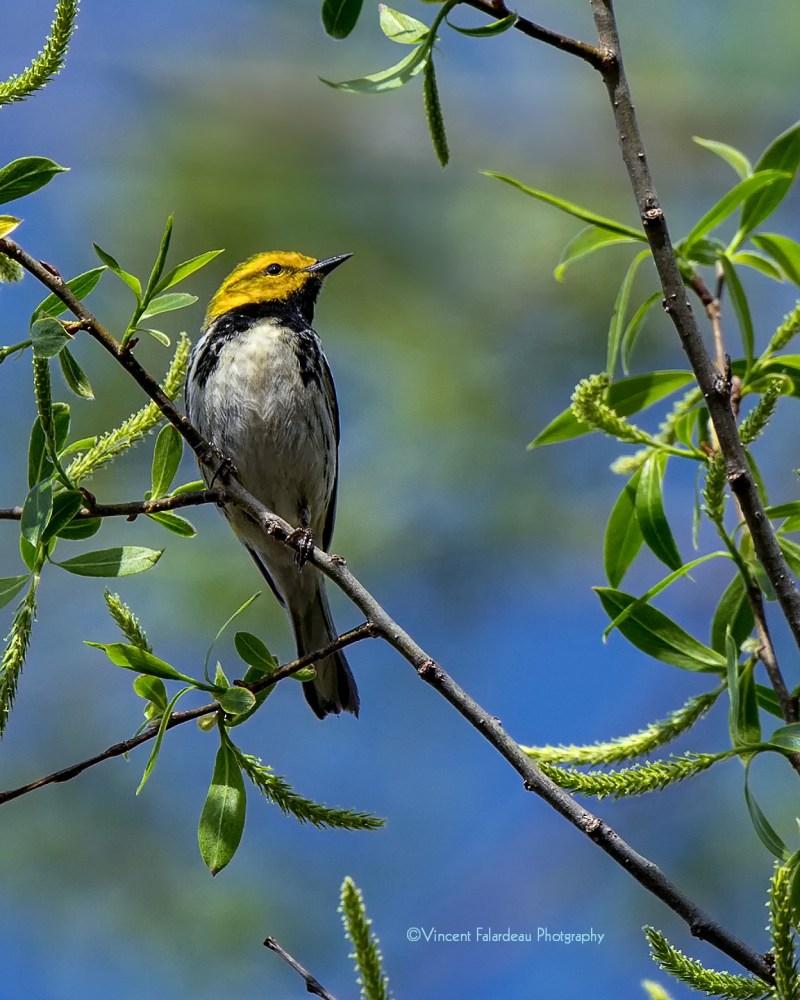 Black-throated Green Warbler_web