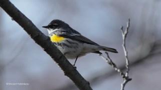 Yellow-rumped Warbler_High Park2