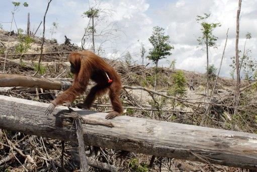 Orangutan made homeless by the palm industry is darted by rescue workers