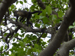 Howler Monkey high tailing it!