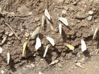 Butterflies taking minerals from the organic soil