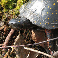 spotted-turtle-01
