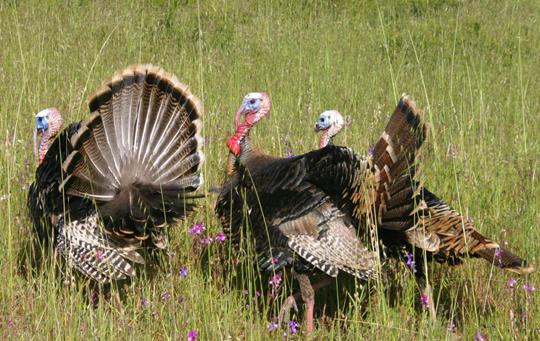 Spring Turkey Hunts