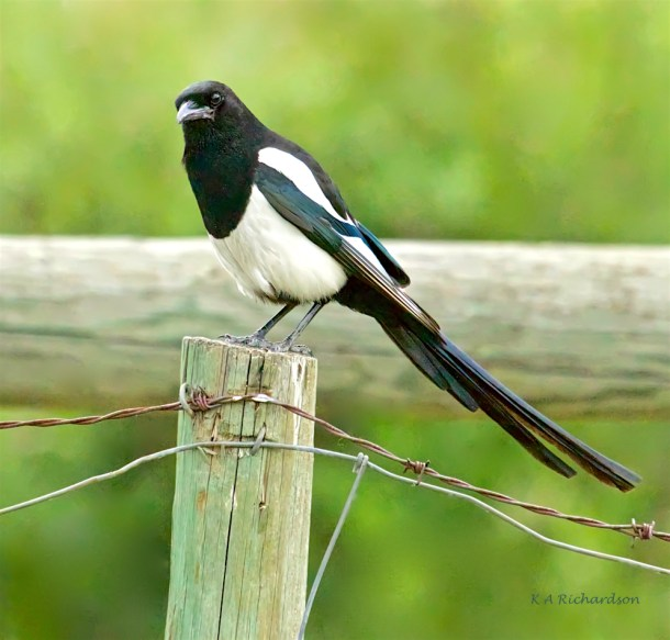 Adult Black-billed Magpie at Mill Creek Park
