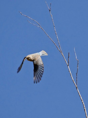 Female dropping in to forage near White Lake