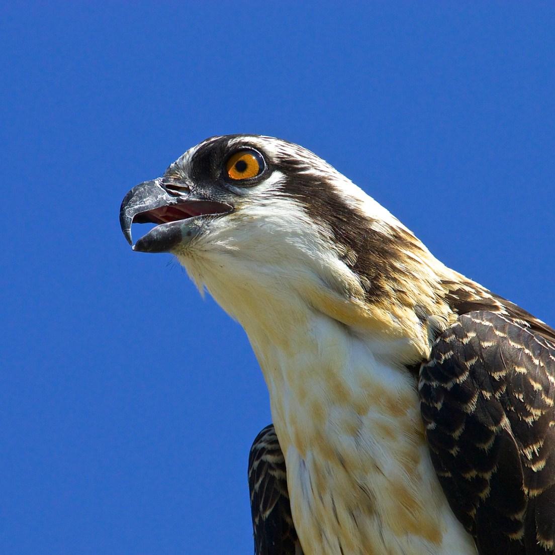 By the way, do you speak Osprey?