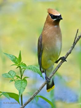 Young adult Cedar Waxwing