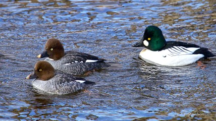 Common Goldeneyes in winter can be found in small flocks (rafts) on Mission Creek.