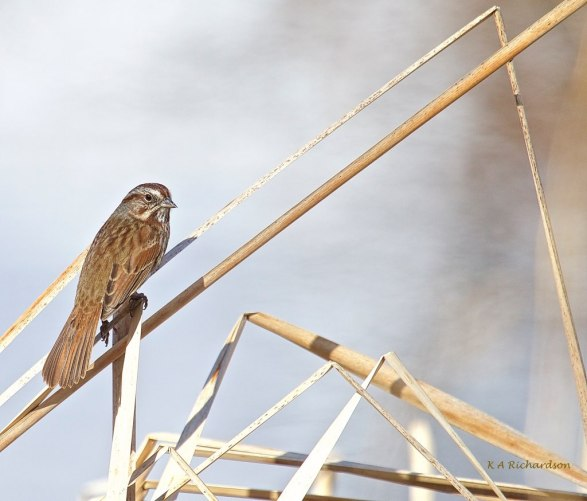Song Sparrow at Birdie Lake, Predator Ridge, BC.