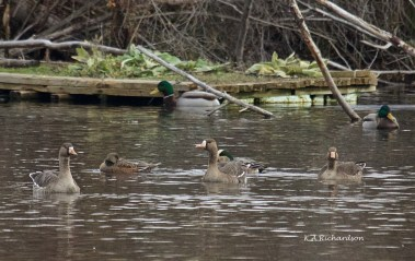 Greater White-Fronted Geese, Munson Pond