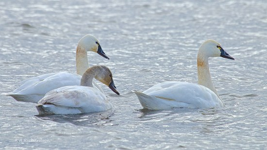 Tundra pair with cygnet in tow....
