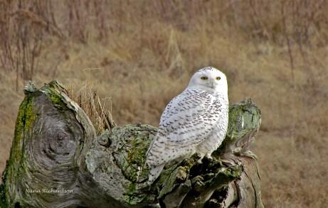 Snowy Owl, by my wife, 120211