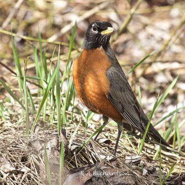 American Robin in Spring