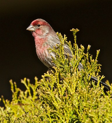 House Finch, Belmont.