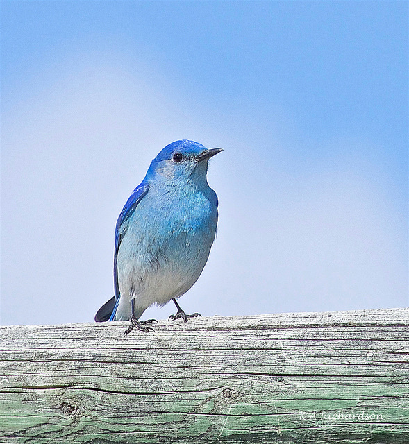 Mountain Bluebird on the rail