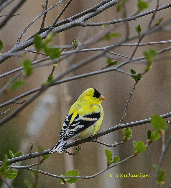 Spring American Goldfinch