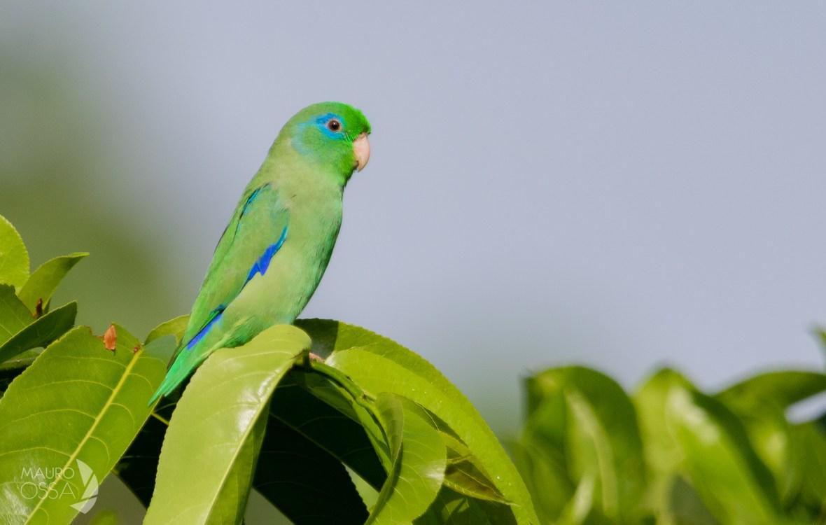 Periquito de Anteojos:Spectacled Parrotlet:Forpus conspicillatus1