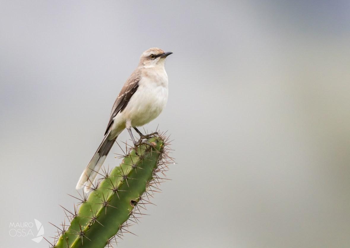 Sinsonte Común:Tropical Mockingbird:Mimus gilvus1