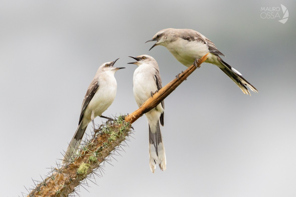 Sinsonte Común:Tropical Mockingbird:Mimus gilvus3