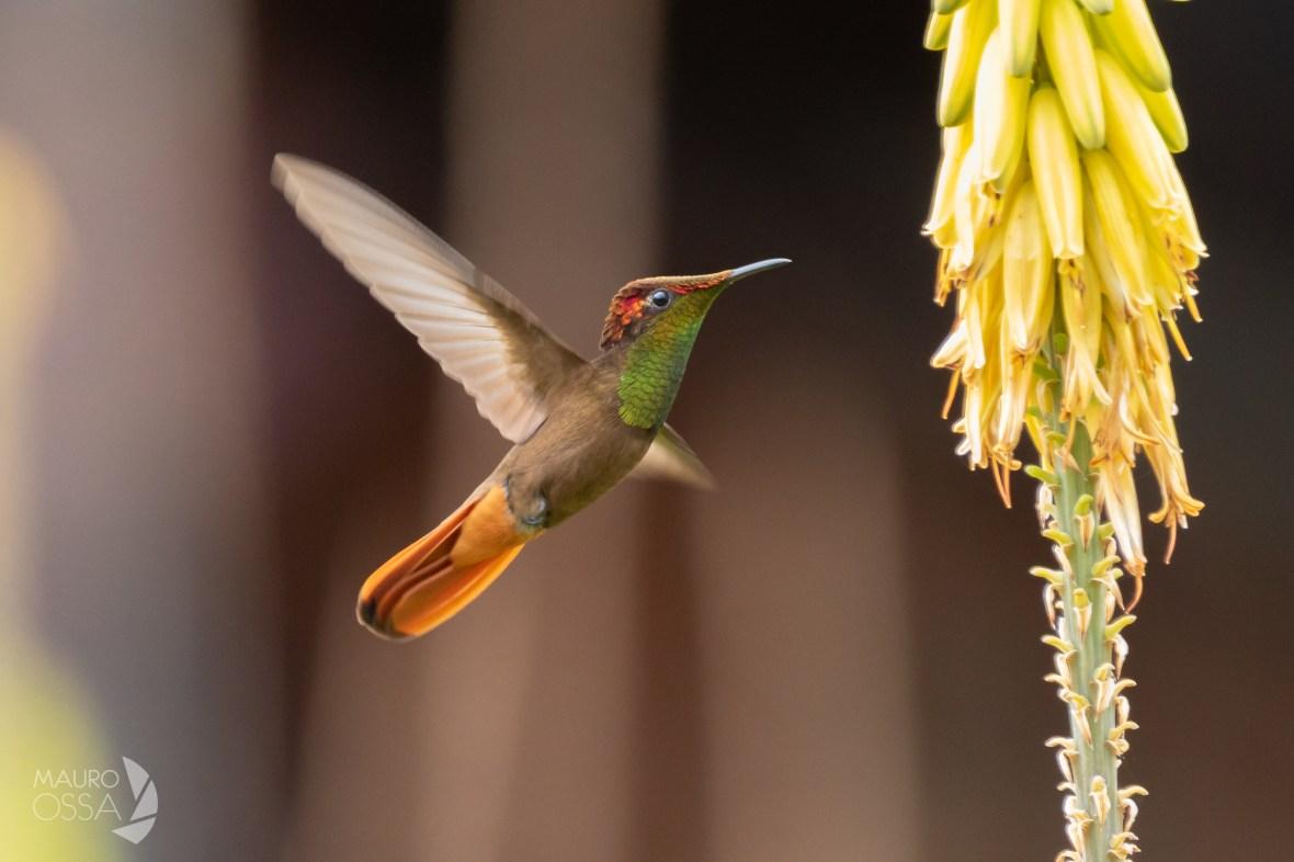Colibrí Rubitopacio:Ruby-topaz Hummingbird:Chrysolampis mosquitus2