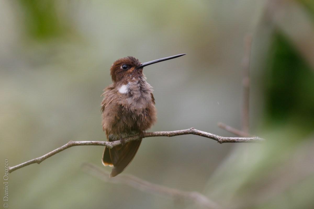Inca Pardo/Brown Inca/Coeligena wilsoni - One Bird Per Day..