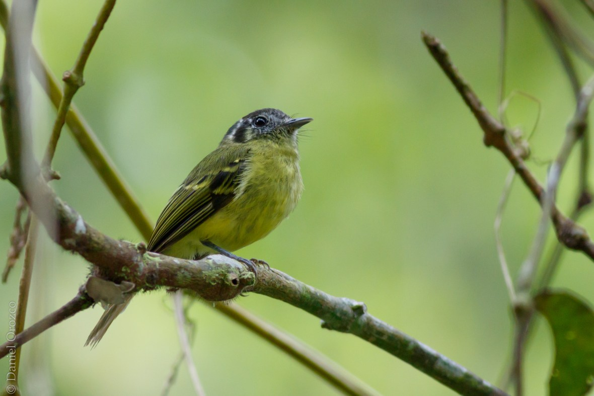 Phylloscartes ophthalmicus mistrato
