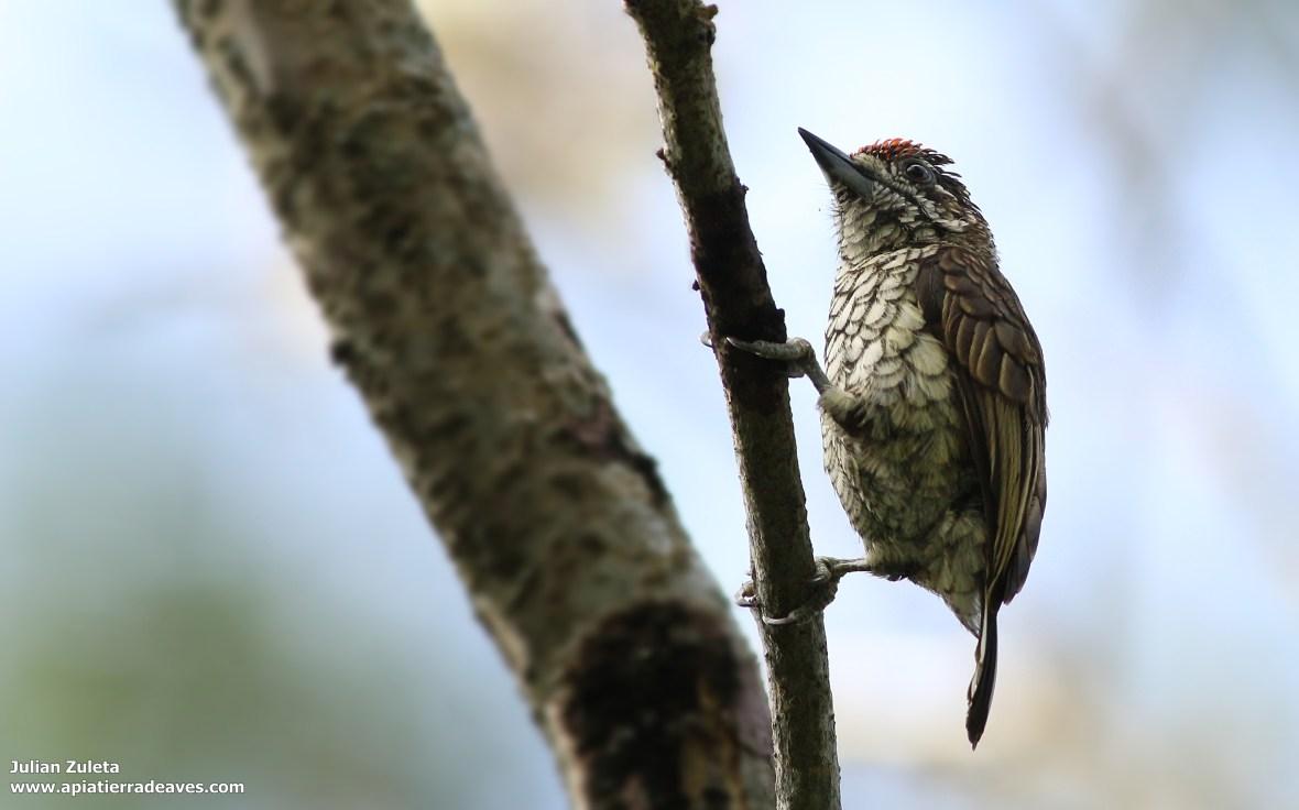 Picumnus squamulatus