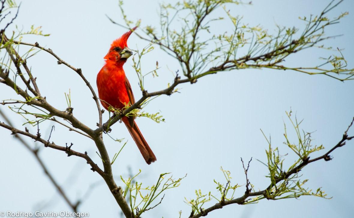 Cardinalis phoeniceus