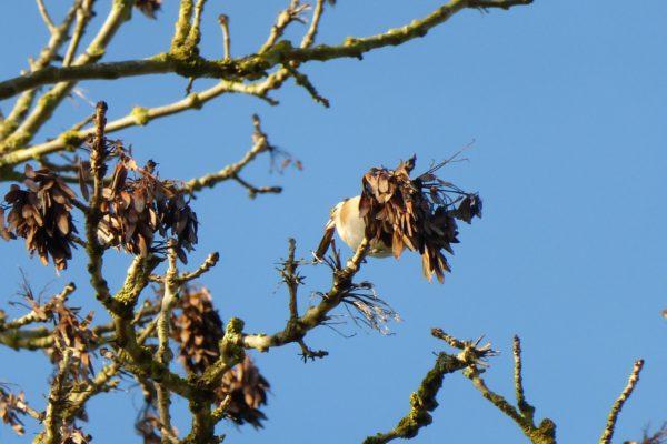 النباتات التي يتغذى عليها طائر الحسون