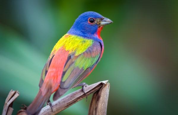 طائر الراية الملونة