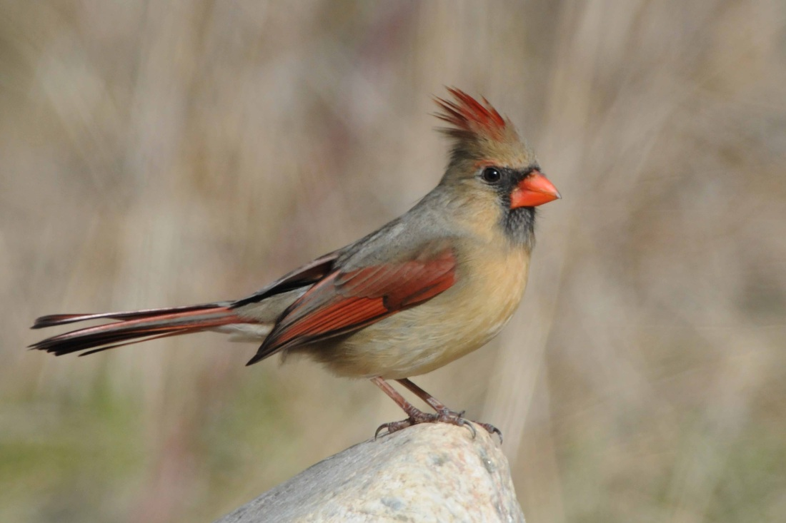 Image result for female cardinal pictures