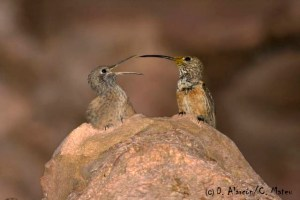 Wedge-tailed Hillstar (Oreotrochilus adela) © D. Alarcón / C. Mateu