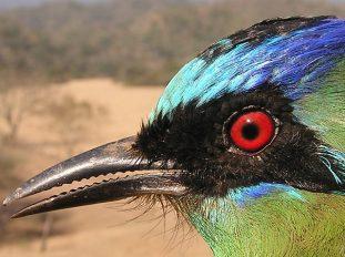 Amazonian Motmot (Momotus momota). Copyright G Sanchez.