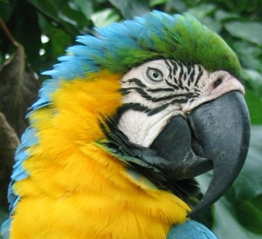 Blue-and-yellow Macaw (Ara Ararauna). Copyright SK Herzog.