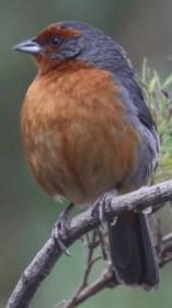 Cochabamba Mountain-Finch (Poospiza garleppi). Copyright M. Spanowicz.