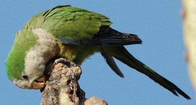 Cliff Parakeet (Myiopsitta luchsi). Copyright C Rabadan.