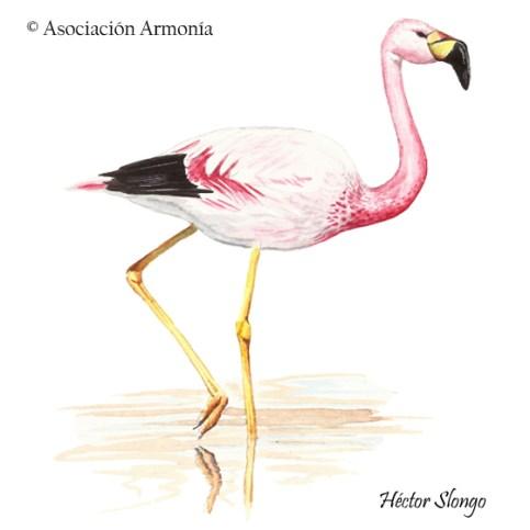 Andean Flamingo (Phoenicoparrus andinus)