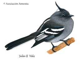 Ash-breasted Tit-Tyrant (Anairetes alpinus)