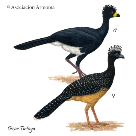 Bare-faced Curassow (Crax fasciolata)